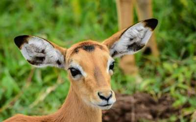 safari en Uganda